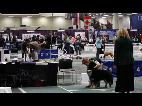 Taavi at Seattle Kennel Club Dog Show - March 12 2017