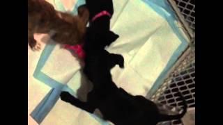 9 Week Old Boxer/plott Hound Mix Puppies