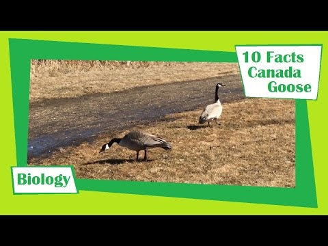 10 Facts About The Canada Goose