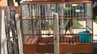 towa towa/Mick  -Guyana birds