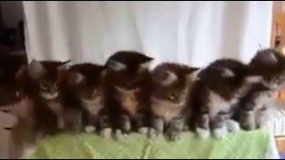 Котята танцуют вигу вигу
