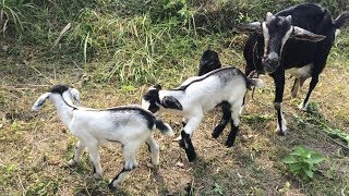 Baby Goats Eating Grass And Playing On The Field | Feeding Goat Grass