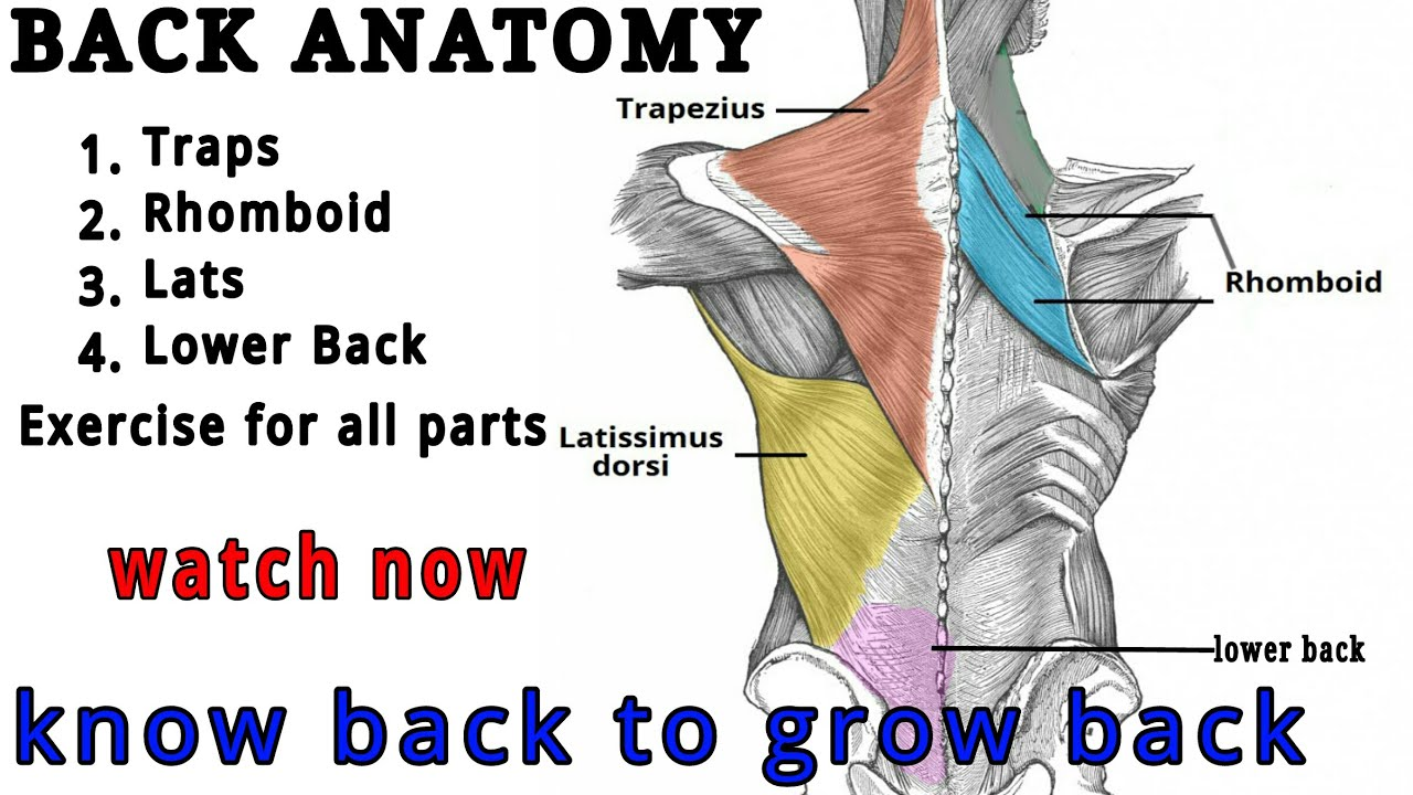 How To Build Back Muscle In Easy Way | BACK ANATOMY | Hindi - YouTube