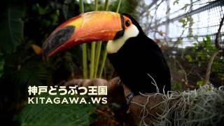 神戸どうぶつ王国のトゥーカン オニオオハシ Toco Toucan at Kobe Anima...