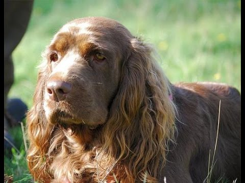 Sussex Spaniel / Dog Breed