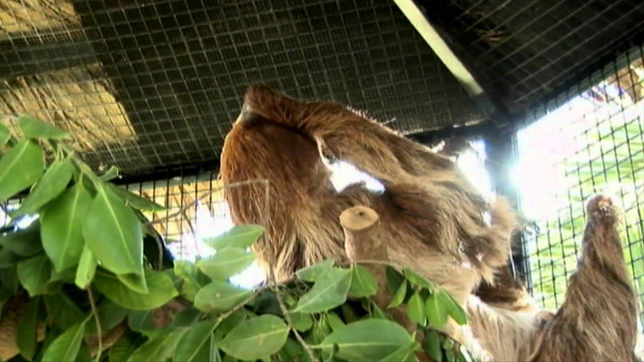 RAINFOREST PYRAMID UPDATE: Sloths Arrive - YouTube