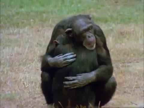 Вопрос: Как появилось существо, названное Дарвиным человекообразная обезьяна?