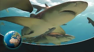 The hunter of Cocos Island: The white-tip reef shark