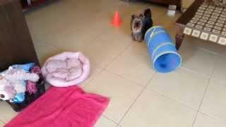 Darya - Yorkshire Terrier - More Tricks