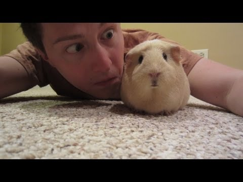 I AM THE LORD OF THE GUINEA PIGS!!