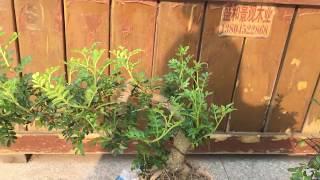 Комнатные растения / Подскажите названия / Мои новички / Бонсай