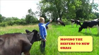 MOVING THE HEIFERS TO NEW GRASS