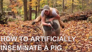 Artificially Inseminating a Pig - Part 2