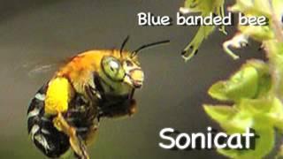 1: Envirotube - blue banded bees