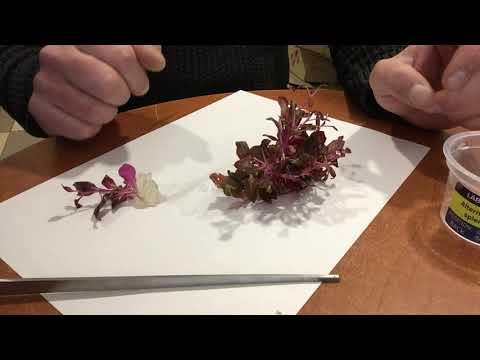 Обзор Аквариумное растение Альтернантера блестящая (ALTERNANTHERA SP. Splendida) в питательном геле