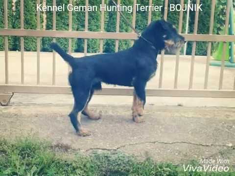 Kennel German Hunting Terrier  -  BOJNIK