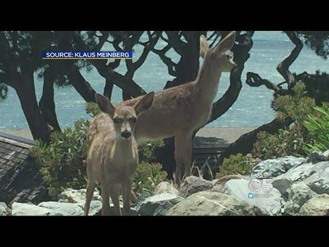 Tiburon Man Who Killed 2 Deer With Pellet Gun Accused Of Animal Cruelty