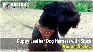 Schnauzer Puppy And Other Dogs Wearing Studded Dog Harness