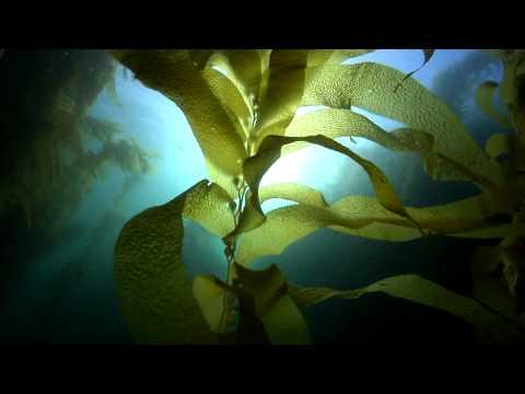 Scuba Dive California's Channel Islands - Kelp Forest