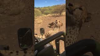 Namibia - big cats feeding