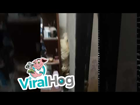 Smart Cat Slides Down from Shelf || ViralHog