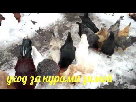 Видео Содержание цыплят в домашних условиях