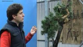 Pinus sylvestris 2ª PARTE.mpg