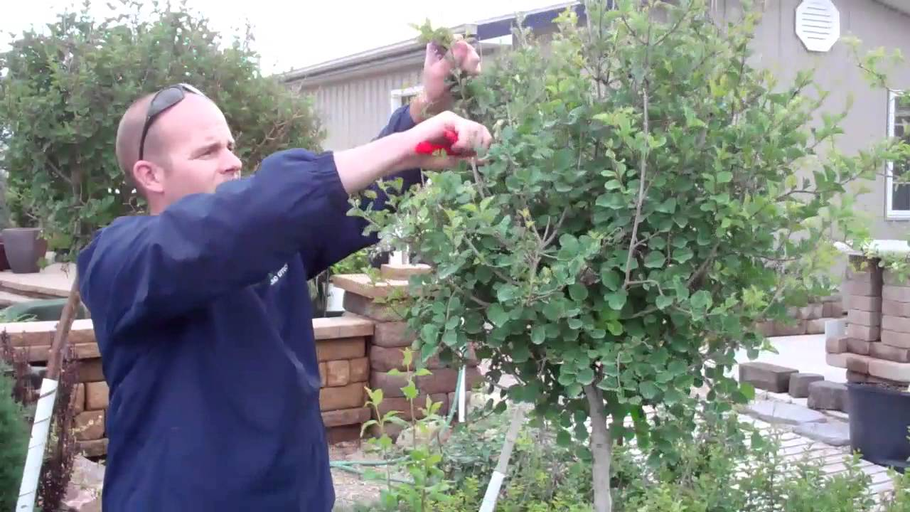 How To Trim Lilac Trees Ground Effects Sioux Center Youtube