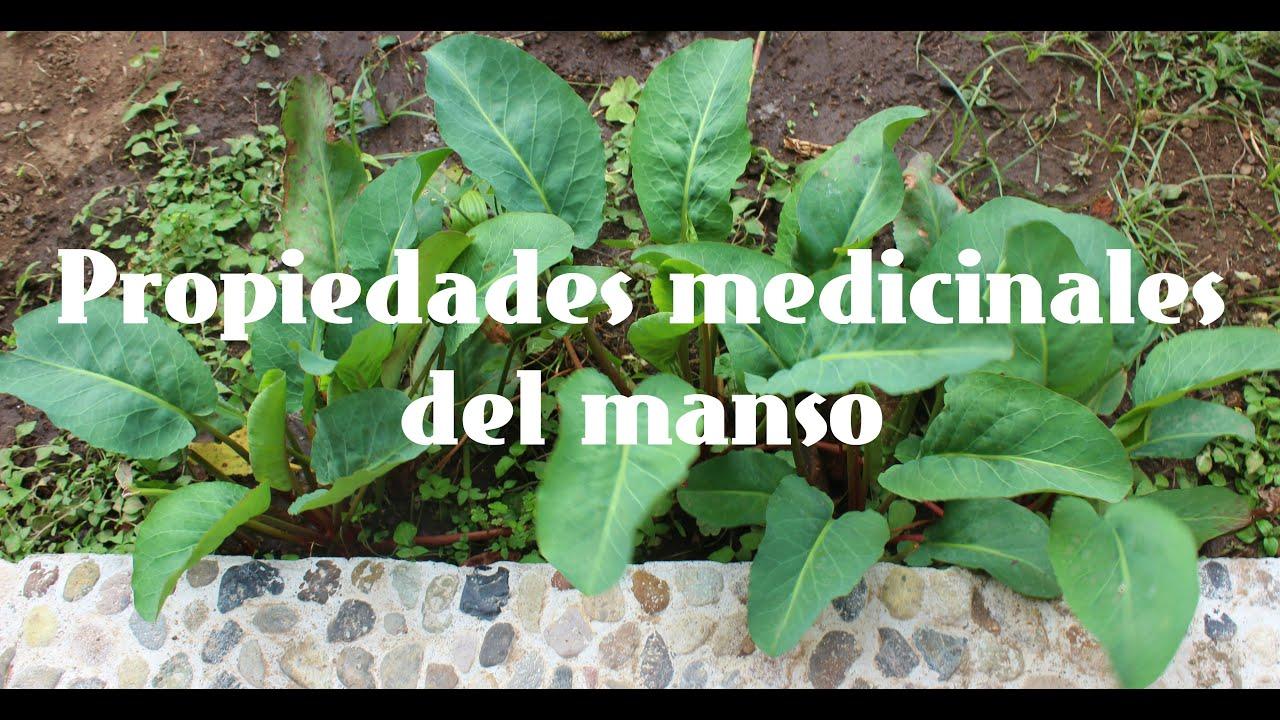 Download Propiedades medicinales del manso || Las Recetas de Mama