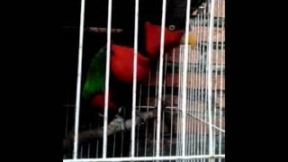 Burung Nuri Suara Mantap