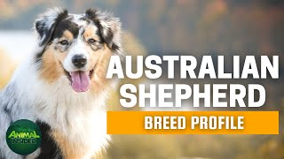Australian Shepherd Dogs 101 | The Cowboy's Herding Dog