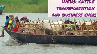 Cattle haat (market) || Traditional cattle transportation!