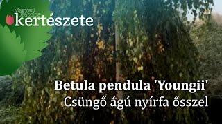 видео Betula pendula Youngii