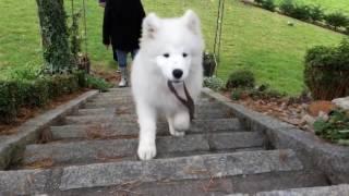 サモエド犬が遊んでいる姿がかわいい!もふもふのサモエド犬に癒される...