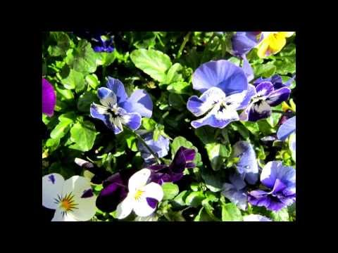 Understanding Viola Flower - How to Care for Viola Flowers
