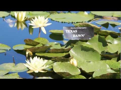 Texas Dawn - The Official Water Lily of the State of Texas