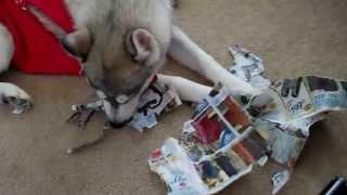 Hire Gracie:  The Rescue Siberian Husky Shredder: No Job Too Small.