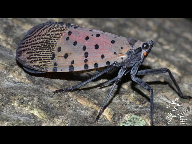 Spotted Lanternfly in NY - LERGP Podcast #87
