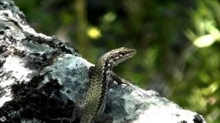 Ящерица скальная (Lacerta saxicola)