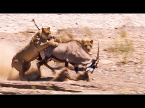 Two Lions Take On Oryx | Natural World: Desert Lions | BBC Earth