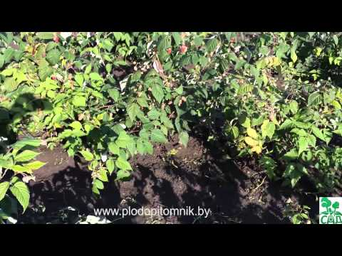 Малина ремонтантная сорт Рубиновое ожерелье | садоводство | фермерство | хозяйство | сельское | растения | растений | питомник | описание | саженцы | посадка