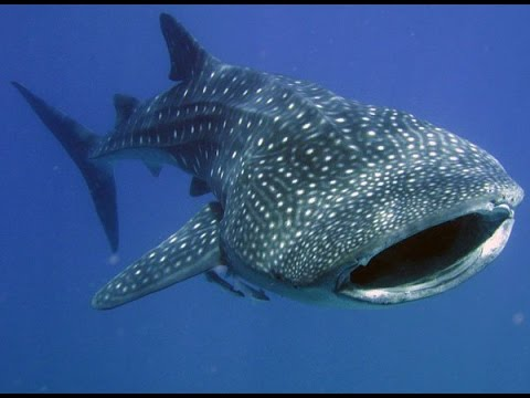 Facts: The Whale Shark