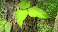 Identifying Poison Ivy and Oak
