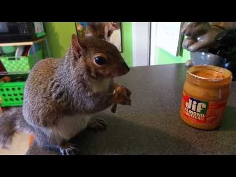 Wally the Squirrel : Eating off his fork!