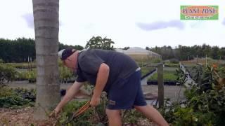 Gardening Tips: Pruning Old Vireya