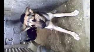جاك الكلب المتوحش