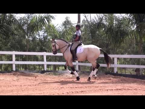 Garanhão Mercúrio do Castanheiro Cavalos puro sangue Lusitanos - Coudelaria aguilar