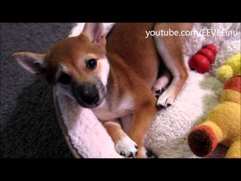 Sleepy EEVEE - Some Calmer Moments - Cute Shiba Inu Puppy Cuddling ...