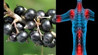 Blackcurrants  Their Health Benefits for the Eyes Urinary Tract and More