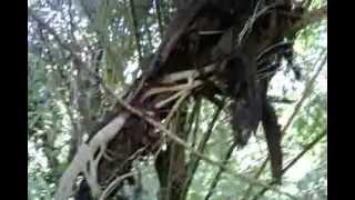 Pohon Melilit Pohon Lain Sampai Mati Seperti Layaknya Ular